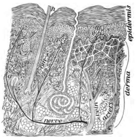 zenuw-uiteinden